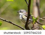 yellow rumped blackbird perched ...   Shutterstock . vector #1093766210