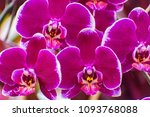 moth orchid or phalaenopsis... | Shutterstock . vector #1093768088