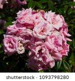 beautiful  heritage rosa... | Shutterstock . vector #1093798280