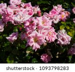 beautiful  heritage rosa... | Shutterstock . vector #1093798283