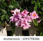 beautiful  heritage rosa... | Shutterstock . vector #1093798286