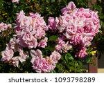 beautiful  heritage rosa... | Shutterstock . vector #1093798289