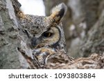 great horned owl hiding in a... | Shutterstock . vector #1093803884
