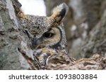 great horned owl hiding in a... | Shutterstock . vector #1093803884