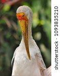 the milky stork  mycteria... | Shutterstock . vector #1093835210