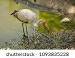the milky stork  mycteria... | Shutterstock . vector #1093835228
