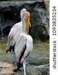 the milky stork  mycteria... | Shutterstock . vector #1093835234