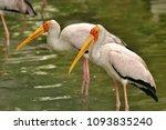 the milky stork  mycteria... | Shutterstock . vector #1093835240