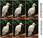 the great egret  ardea alba  | Shutterstock . vector #1093843208