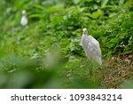 the great egret  ardea alba  | Shutterstock . vector #1093843214