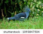 the victoria crowned pigeon | Shutterstock . vector #1093847504