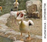 the great white pelican ... | Shutterstock . vector #1093848758