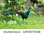 the peafowl peacock | Shutterstock . vector #1093875038