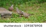 brown zebra dove | Shutterstock . vector #1093878908