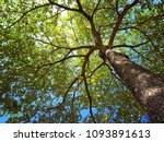 photo up to the tree top shot... | Shutterstock . vector #1093891613