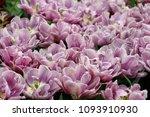 Purle Tulips Flowers Group Purple - Fine Art prints