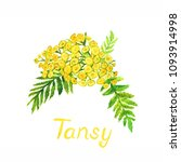 tansy  tanacetum vulgare ... | Shutterstock . vector #1093914998