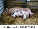 fertile sow lying on hay and... | Shutterstock . vector #1093926884