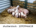 fertile sow lying on hay and... | Shutterstock . vector #1093946618