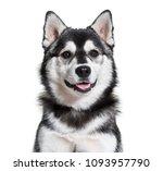 pomsky dog portrait against... | Shutterstock . vector #1093957790