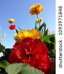 Small photo of Red and yellow tulips all together