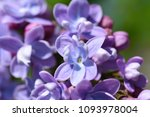 purple flowers of a lilac bush... | Shutterstock . vector #1093978004