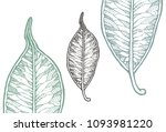 decorated leaf of ficus... | Shutterstock .eps vector #1093981220