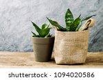 sansevieria trifasciata or... | Shutterstock . vector #1094020586