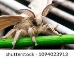 Moth Butterfly  Bombyx Mori  In ...