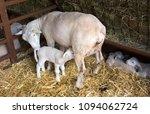 new born lamb suckling milk... | Shutterstock . vector #1094062724
