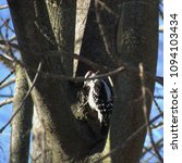 Small photo of a downy woodpecker sits in the crotch of a tree in winter; Harrisonburg, VA, USA