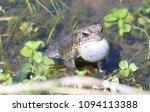 eastern american toad in... | Shutterstock . vector #1094113388