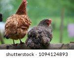 free range chickens in field   Shutterstock . vector #1094124893