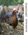 free range chickens in field | Shutterstock . vector #1094124923