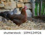 free range chickens in field | Shutterstock . vector #1094124926