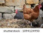 free range chickens in field | Shutterstock . vector #1094124950