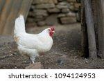 free range chickens in field | Shutterstock . vector #1094124953