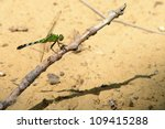 Small photo of Mottled Darner dragonfly - Aeshna clepsydra