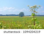 giant hogweed and a rural... | Shutterstock . vector #1094204219