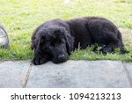 Stock photo purebred black newfoundland puppy laying on the grass 1094213213