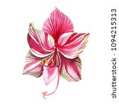 pink striped amaryllis. floral... | Shutterstock . vector #1094215313