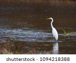 ardea alba linnaeus | Shutterstock . vector #1094218388