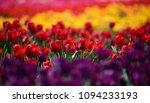Vibrant Coloful Tulips In A...