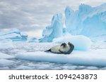 crabeater seal  lobodon... | Shutterstock . vector #1094243873