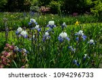 iris flowers blooming in a... | Shutterstock . vector #1094296733