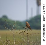 common kestrel bird   Shutterstock . vector #1094317964