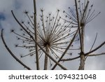 dry branches of a hogweed on a... | Shutterstock . vector #1094321048