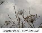 dry branches of a hogweed on a... | Shutterstock . vector #1094321060
