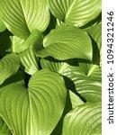 proiphys amboinensis cardwell... | Shutterstock . vector #1094321246