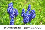 grape hyacinth muscari... | Shutterstock . vector #1094327720